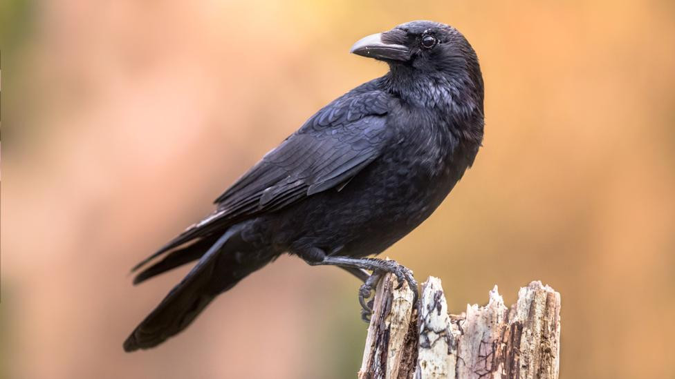 Unbelievable Intelligence Level of Crows