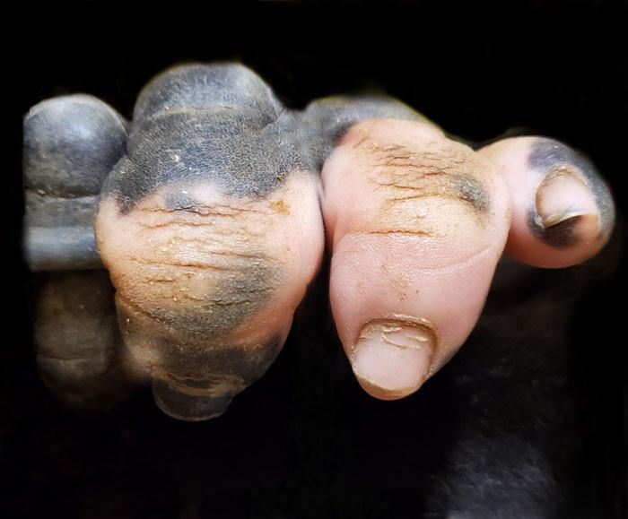 The Unique Gorilla with Human Fingers