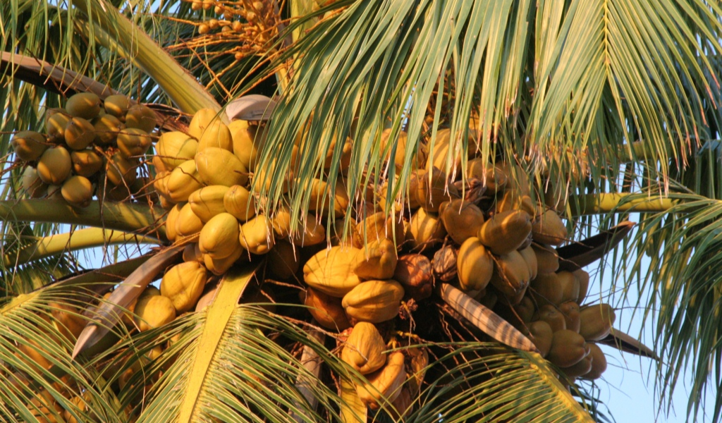 3 Simple, Yet Tasty Recipes from the Fruit of Maldives' National Tree